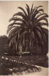 Jubaea at the Geelong Botanic Gardens in the mid-20th Century