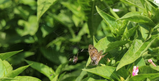 common brown in spiders web IMG