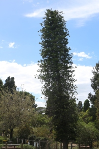 Cook Islands pine, Araucaria columnaris near the old curator's cottage, Eastern Park